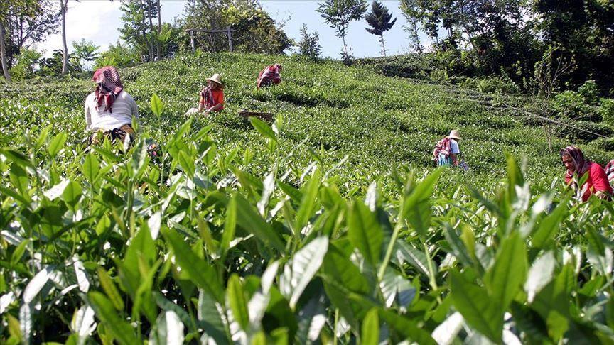 الشاي التركي والكورونا .. موسم حصاد بظروف استثنائية